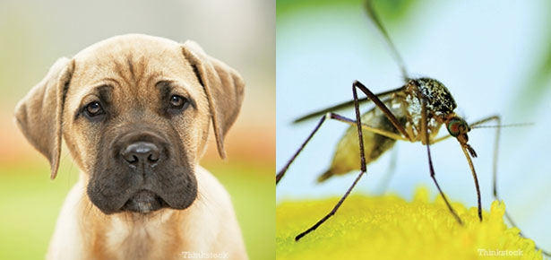 Canine Heartworm Infection